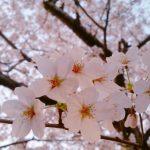 下関は桜が満開です🌸