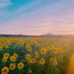 夏の思い出に向日葵を見に行きました🌻