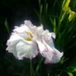 菖蒲の花が見頃です