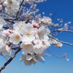 桜の季節がやってきました🌸
