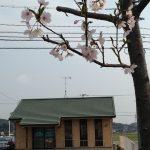 宇部市「おきのだん薬局」前の桜で花見