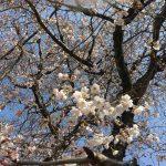 山口県山口市の桜の名所、お花見の季節になりました