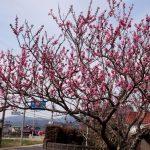 『菊川薬局』の小窓から見える桃の花は、春の声