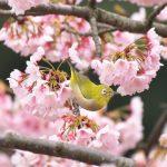 『セレッソ(桜)』が春の訪れを知らせてくれる