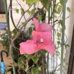 6-10月に咲く「ブーゲンビリア」がなぜか1月に咲いた!