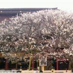 先日訪れた太宰府天満宮は梅がキレイでした